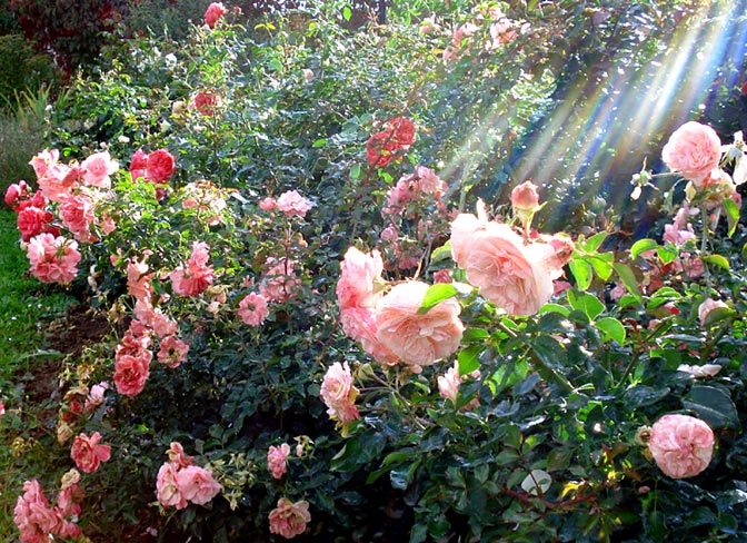 Название: rose2.jpg Просмотров: 46  Размер: 125.2 Кб