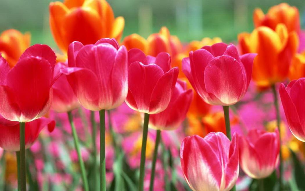 Название: hoa-tulip-do-khoe-sac-ruc-ro-041-13.jpg Просмотров: 85  Размер: 179.1 Кб